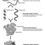 タンパク質は立体構造をつくる