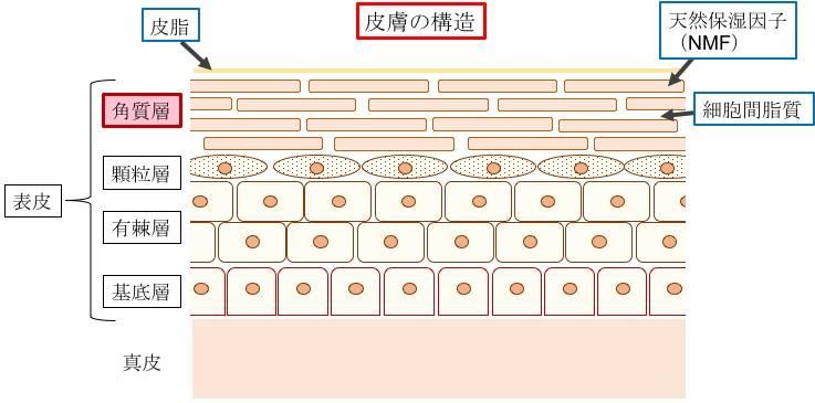 天然保湿因子に含まれるPCA-Naの場所を説明した皮膚の図