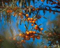 ヒポファエラムノイデス果実の写真