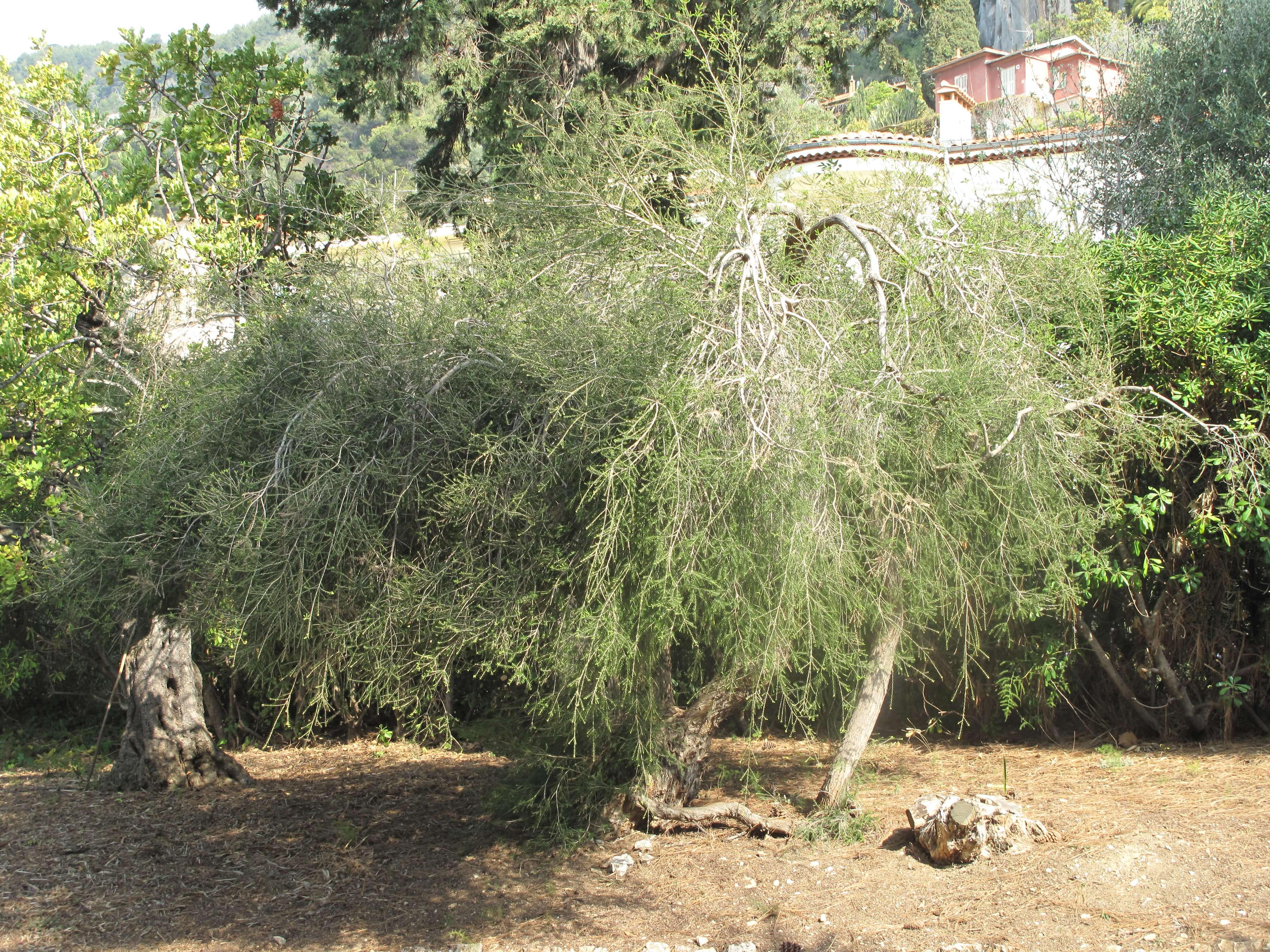 ティーツリー樹木写真