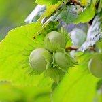 【ヘーゼルナッツ種子油】化粧品・天然油脂成分の特徴・効果と安全性について