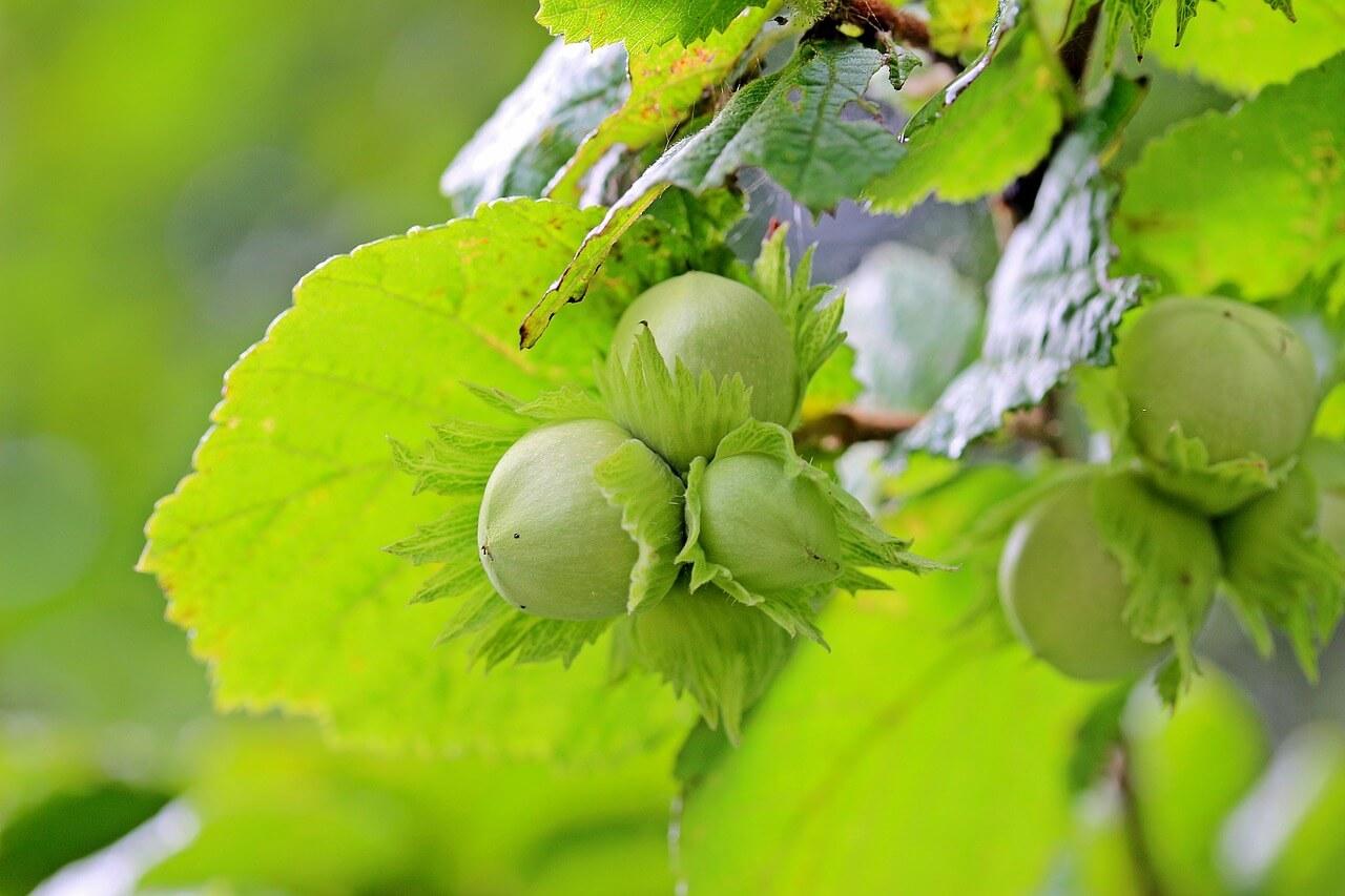 ヘーゼルナッツ 種子 写真